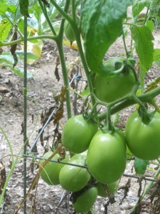 Plum tomatoes make up the bulk of the tomato plants I grow.