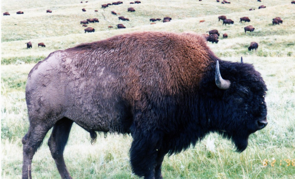 Up close & personal with a bison herd, Custer State Park, South Dakota, 1998.