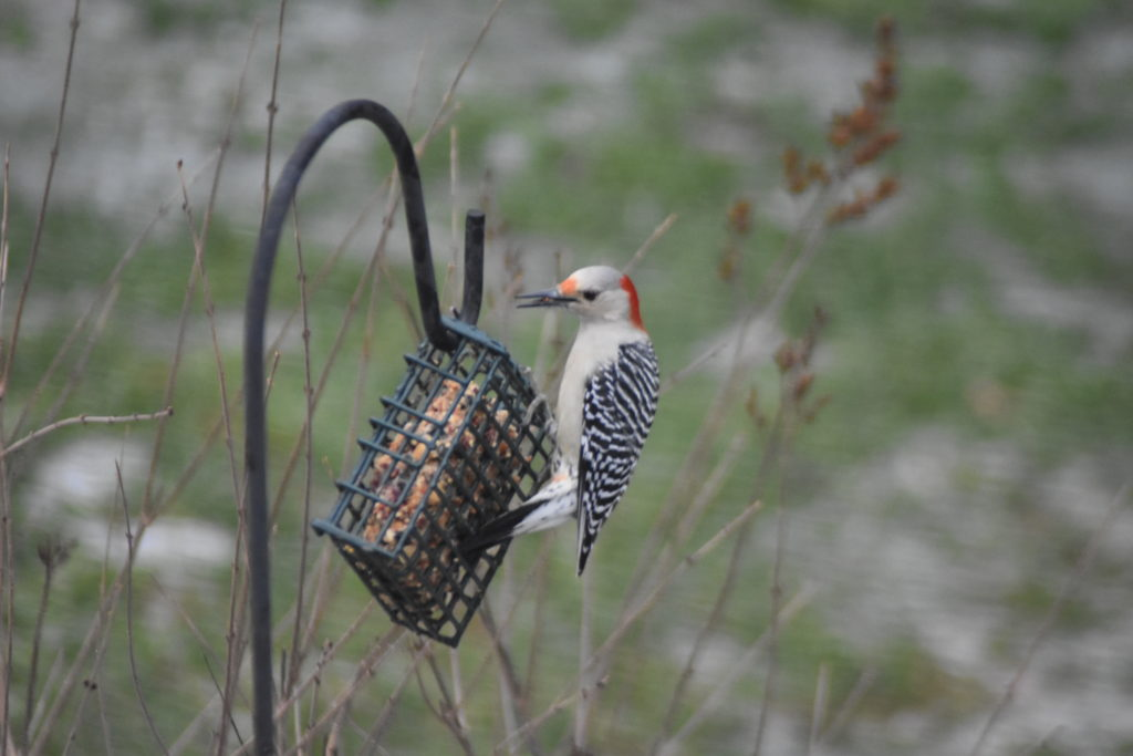 A red-bellied woodpeckers turn on the suet!