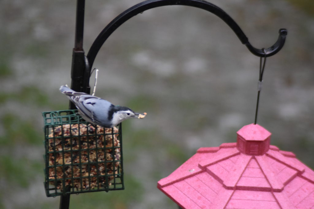 A white-breasted nuthatch visiting the feeders.